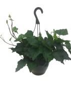 algerin-ivy-hanging-basket