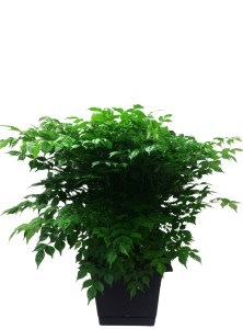 masson-farms-foliage-china-doll