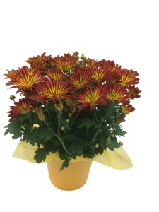 point-pelee-crysanthemum-6.5-in-masson-farms
