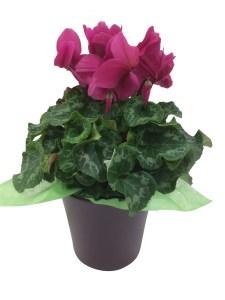 purple-ceramic-pot-6.5in-pink-cyclamen-masson-farms