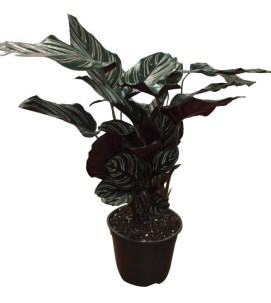 6-in-calathea-ornata