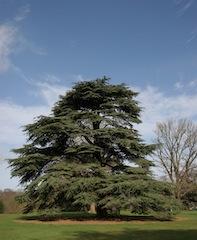 Cedar Feedback Model - Image of a cedar tree