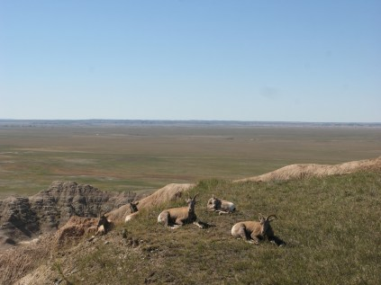 Horned Sheep in the Badlands