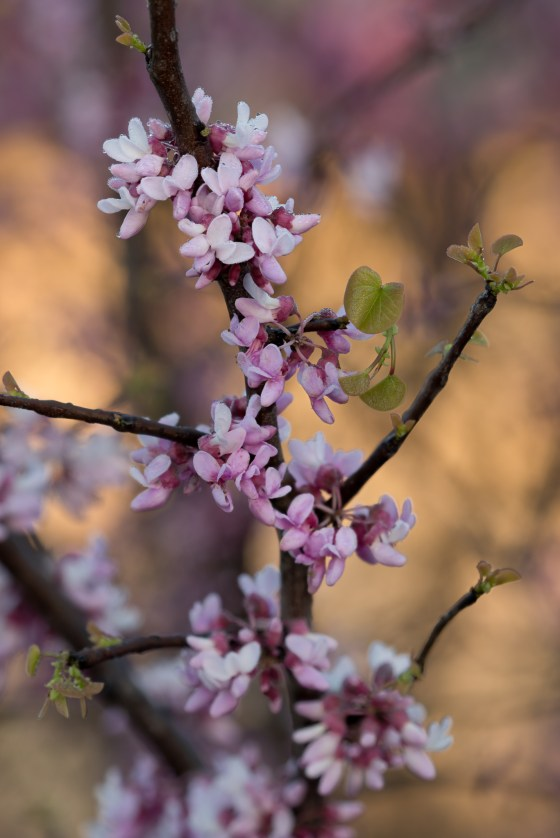 The blooms of the redbud are a sure indicator that Spring is just around the corner!  Photo by Bruce Leander