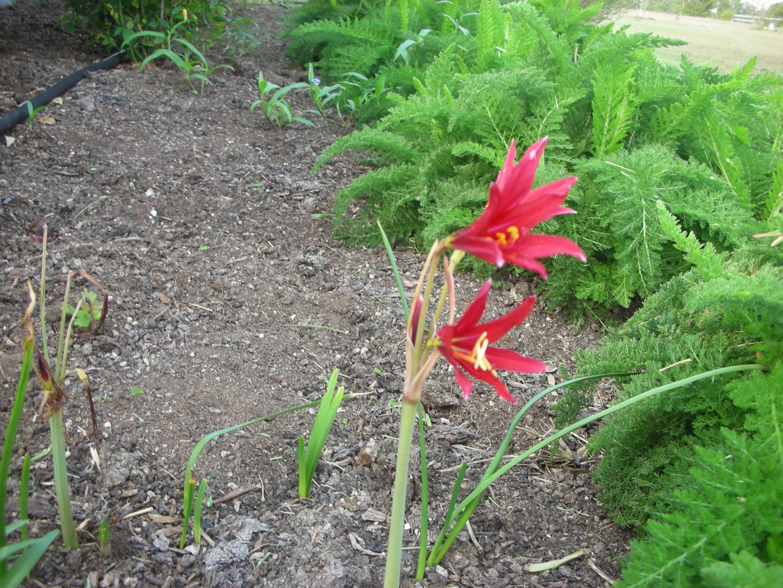 2,4,6,8,20 Wild Oxblood Lily Live plants Rhodophiala bifida Heirloom 1 ft