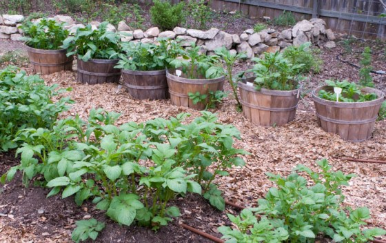 A row of potatoes growing in bushel baskets.  Photo by Bruce Leander