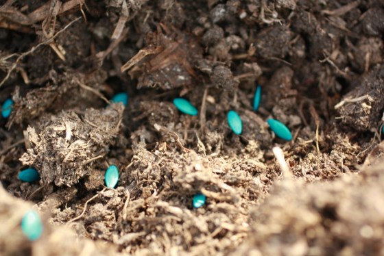 Blue cucumber seeds have been treated with an organic, sulfur based fungicide called thiram.  This protects against certain pests and makes sure the seeds do not rot in moist soil.