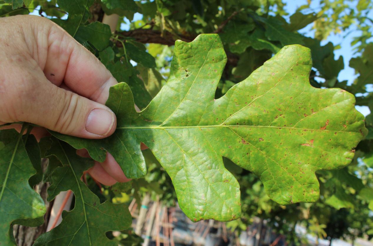 the bur oak quercus macrocarpa