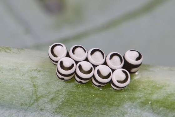 Harlequin Bugs have distinctive egg cases, usually 10-12 barrel shaped eggs laid side by side