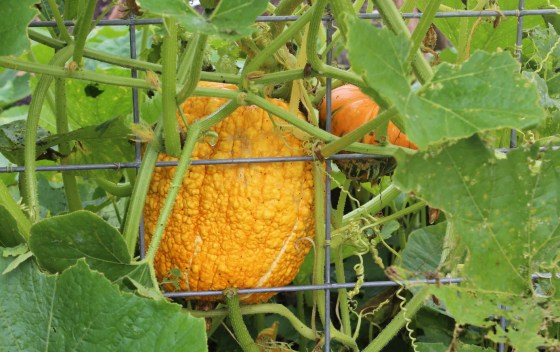 Watching this squash turn into a pumpkin has truly been the highlight of my fall garden