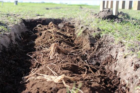 planting-asparagus
