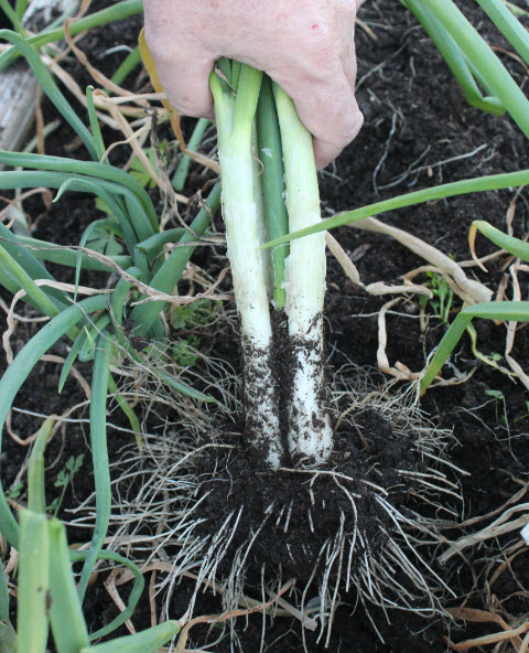 "Each shallot bulb will reproduce by creating several ""offsets"" around the main bulb."
