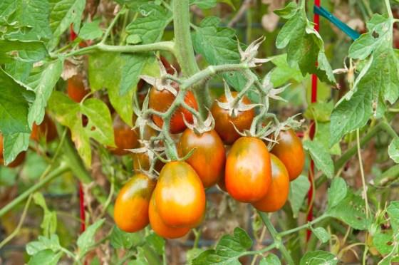 black_plum_tomato