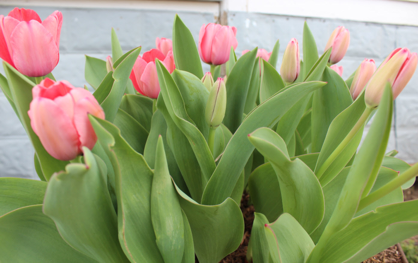Growing tulips in texas for Tulip garden in texas