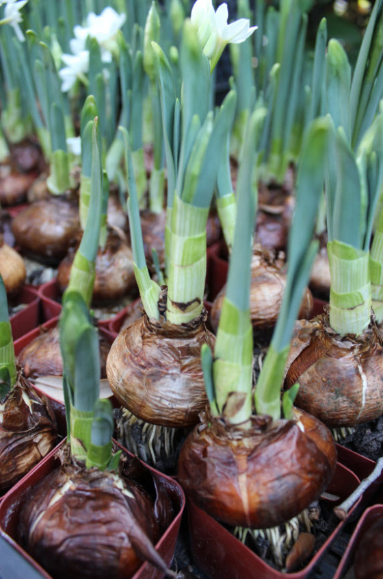 paperwhites-bulbs-1
