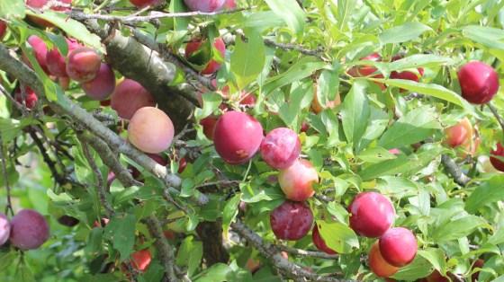 ripe-plums