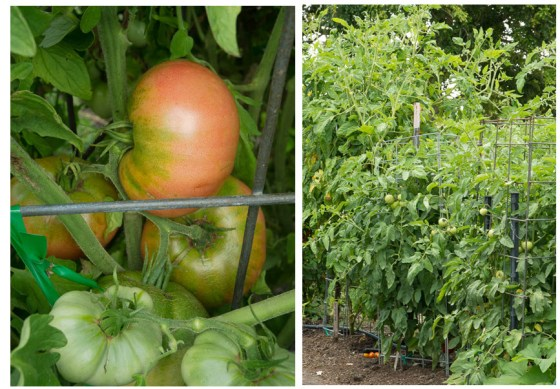 tasty-tomatoes