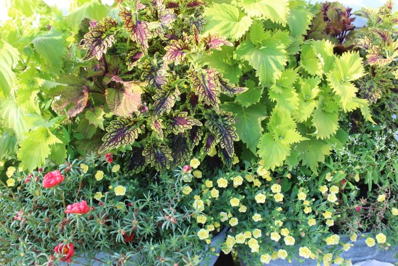 coleus-potted-plant