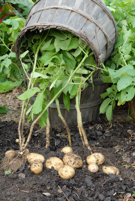 harvesting-container-grown-potatoes