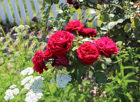 Crimson-Glory-Rose