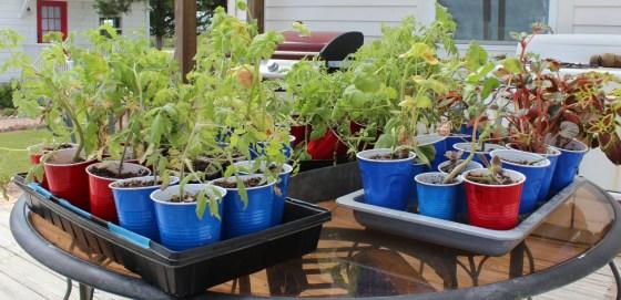 tomato-transplants