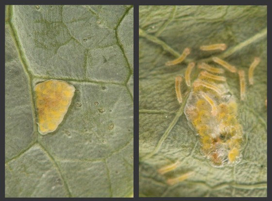 cross-striped-cabbageworm-eggs