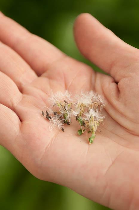 Lettuce-seeds