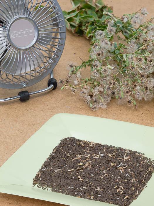 saving-lettuce-seeds
