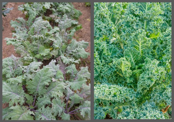 'White Russian' (left) and 'Winterbor' kale can handle frigid temperatures that plummet into the 20s