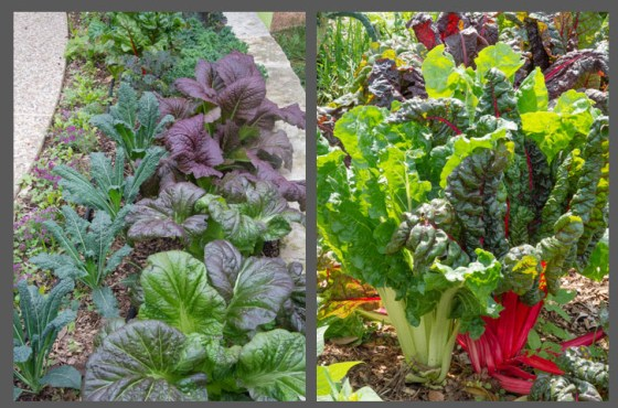 Purple mustard and Swiss chard add texture and color to the landscape.