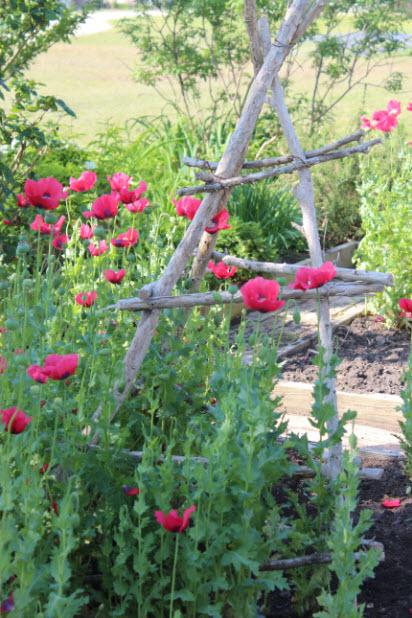 red-pepperbox-poppy-2