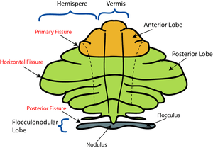 Schematic representation of the major anatomic...