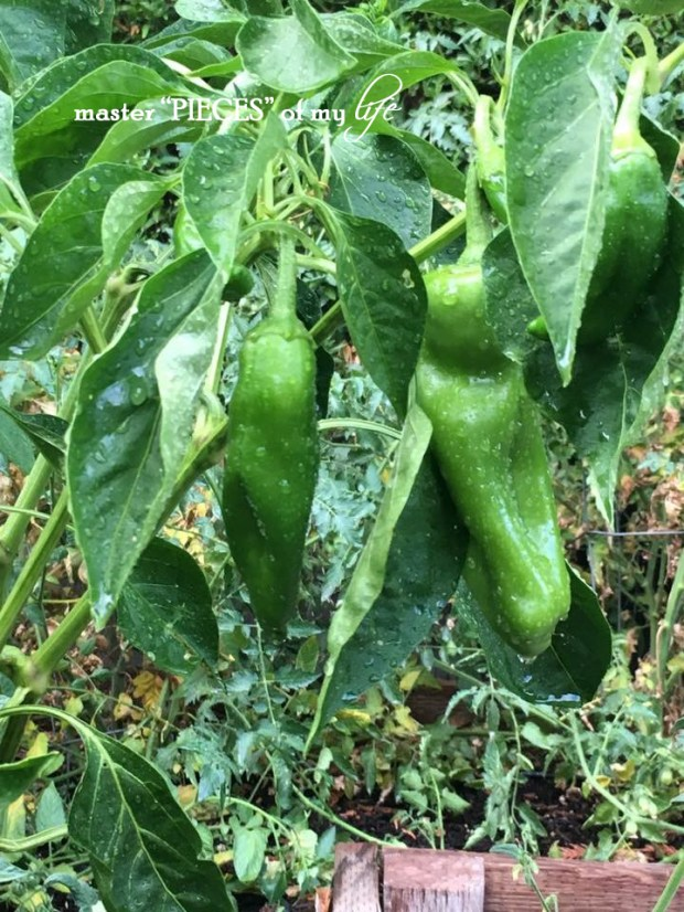 Green peppers6