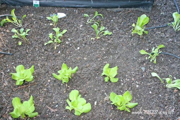 Veggie garden4