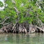 Costa Rica apuesta a remediar los manglares