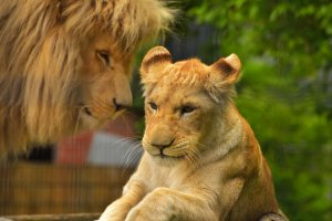A female lion watched by a male