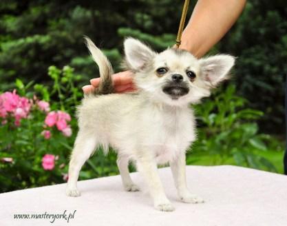 Szczenięta Chihuahua Długowłosy