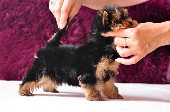 szczeniak yorkshire terrier, na sprzedaż, hodowla Master York FCI