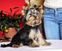 Szczenięta na sprzedaż Yorkshire Terrier - Hodowla Master York