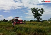Pandemi Virus Corona, Tidak Menghalangi Petani Sumenep Panen Padi, Jagung dan Bawang Merah