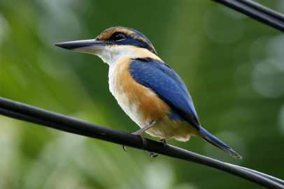 Collared Kingfisher, Fiji
