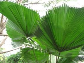Flora Palm