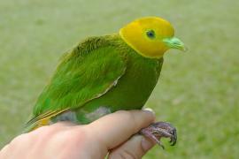 Whistling Dove - Birding treat adventure Package, Matava, Fijhas Blue head on Kadavu