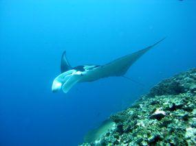 Manta Reef
