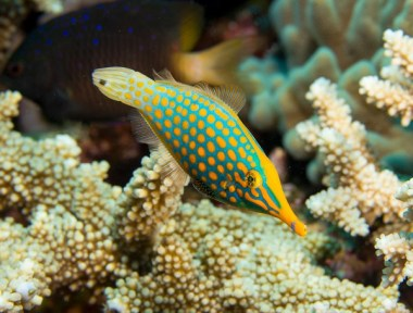 matava-longnose-filefish