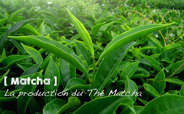 La production du Thé Matcha