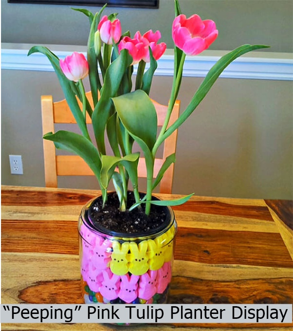 """peeping"" pink tulip planter display"