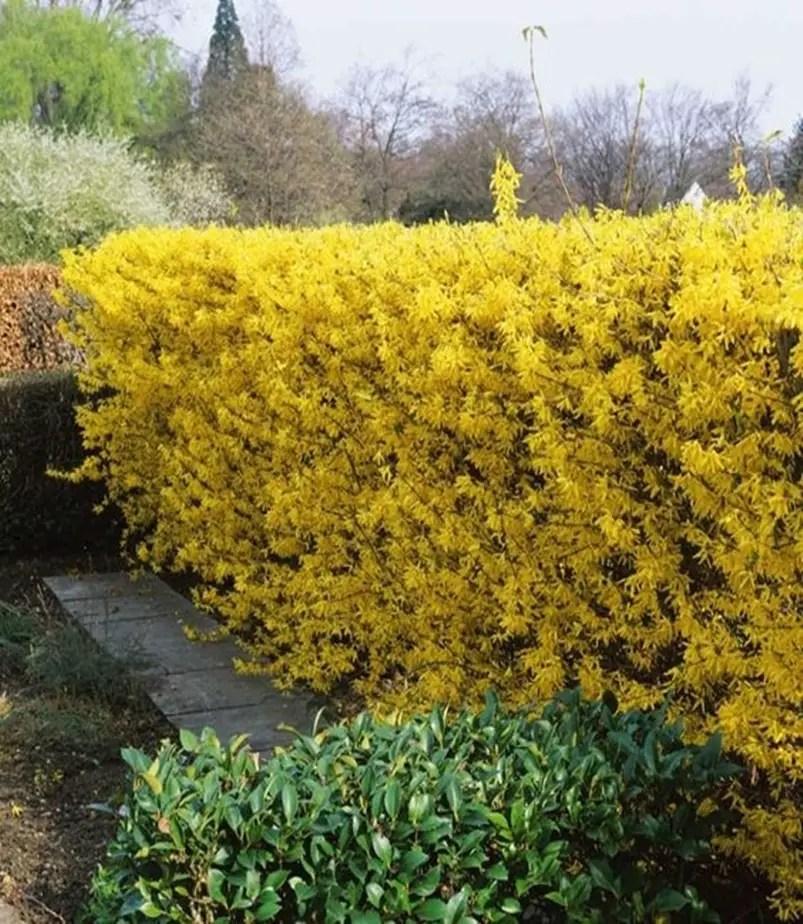 Front garden hedge plants 7