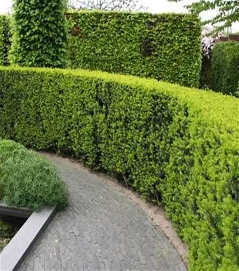Front garden hedge plants 9