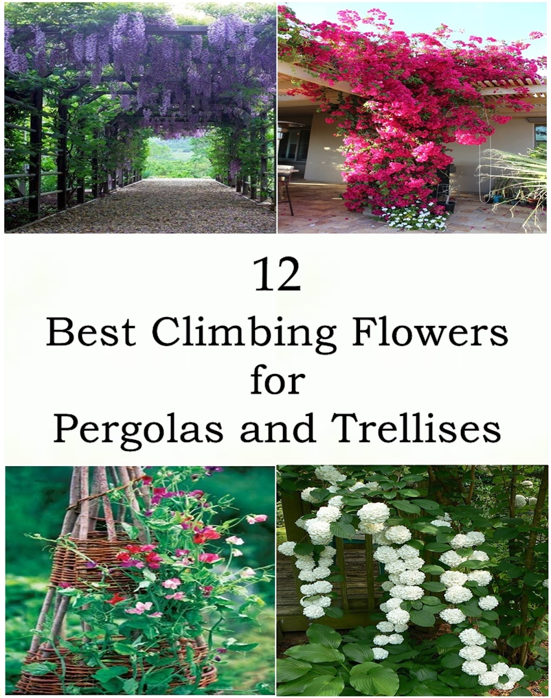 12 Best Climbing Flowers For Pergolas And Trellises Matchness